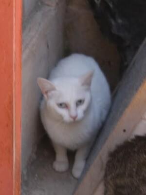 Juanita, Europäisch Kurzhaar - Katze