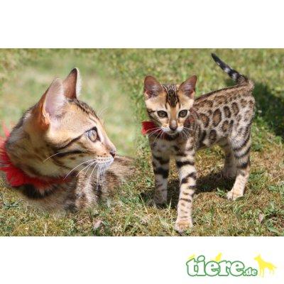 Kitten, Katze, Bengalkatze - Kater