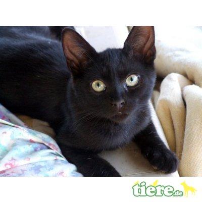 Lali, Wunderschöne Lakritzschnute sucht Zuhause - Katze