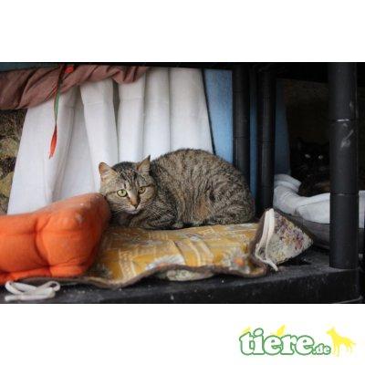 Lexia, Europäische Kurzhaarkatze - Katze