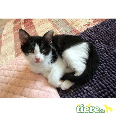 Lila, sehr lieb und verschmust - Katze