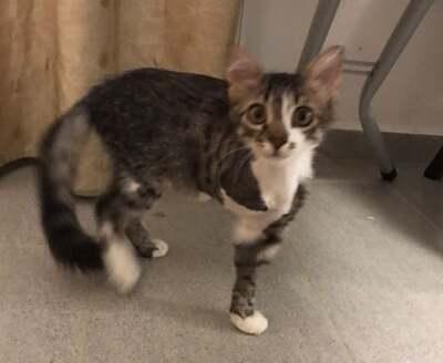 Lily - Dreibeinige Überlebenskünstlerin, ca. 5 Monate, Mischling Jungtier - Katze