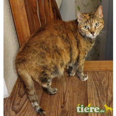 Lissi, Hauskatze - Katze