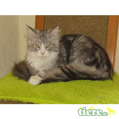Lunis, Maine Coon - Kater
