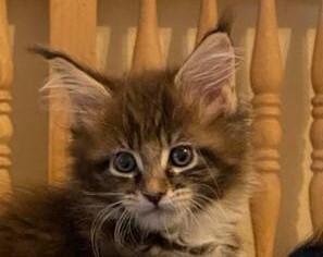 Maine Coon Jungtier - Katze