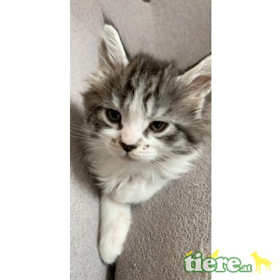 Maine Coon - Kater