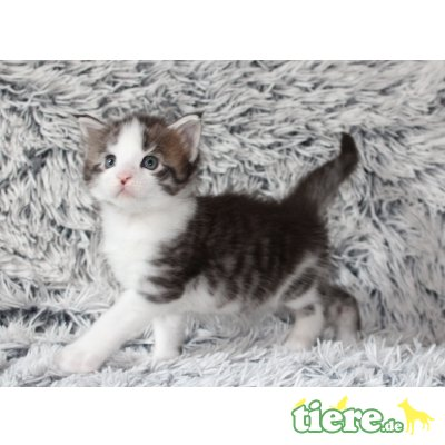 Maine Coon - Kater 1