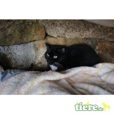Marivi, Europäische Kurzhaarkatze - Katze