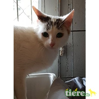 Millie, Europäische Kurzhaarkatze - Katze