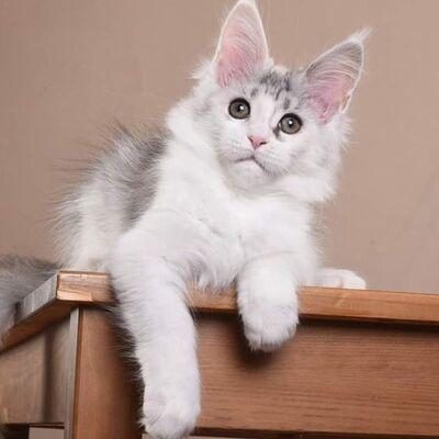 Molly, Maine Coon Jungtier - Katze 1