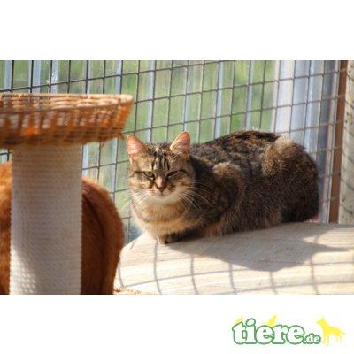 Nahima, Europäische Kurzhaarkatze - Katze