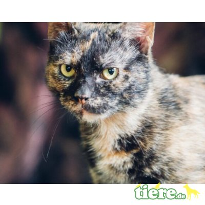 Nanuk, Mischling - Katze