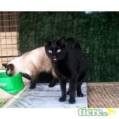 Negrito, Traumkater im schwarzen Lackfellchen - Kater