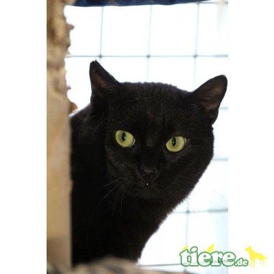 Nerissa, Europäische Kurzhaarkatze - Katze