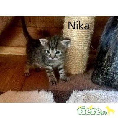Nika, Zutrauliches Kitten sucht liebevolle Menschen - Katze