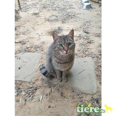 Nova, Europäische Kurzhaarkatze - Katze
