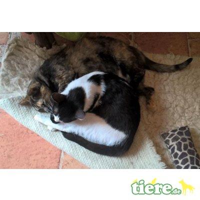 Nubia, Schildpattkatze mit liebem Charakter - Katze