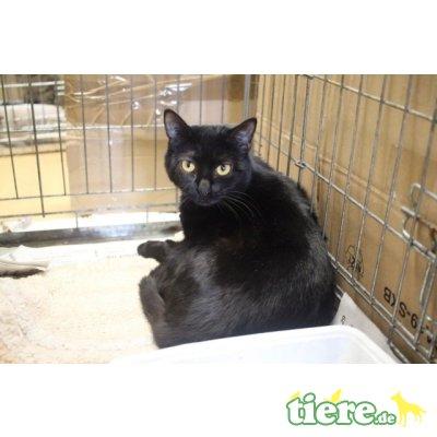 Olena, Europäische Kurzhaarkatze - Katze