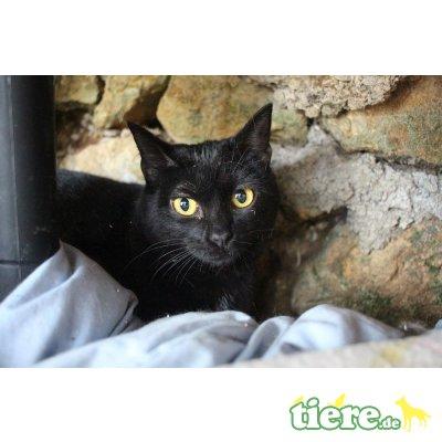 Olena, Europäische Kurzhaarkatze - Katze 1