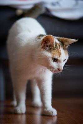 Orange, Europäische Hauskatze - Katze