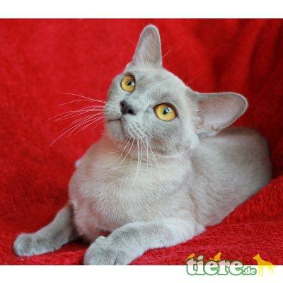 Our Sweetheart v. Sona Soraj, Burmakatze - Katze