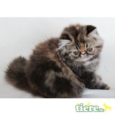 Padaluvi, Perser Schildpatt - Katze 1