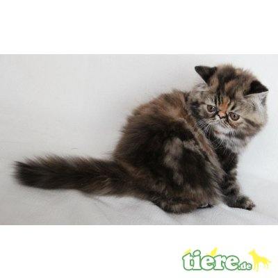 Padaluvi, Perser Schildpatt - Katze