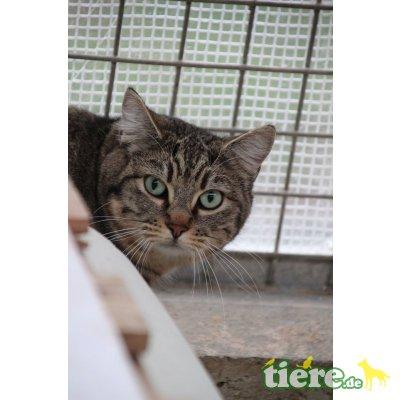 Pathy, Europäische Kurzhaarkatze - Katze