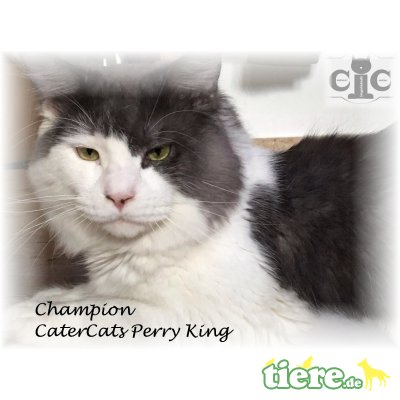 Perry King, Maine Coon - Kater