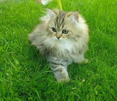 Perser Jungtier - Katze