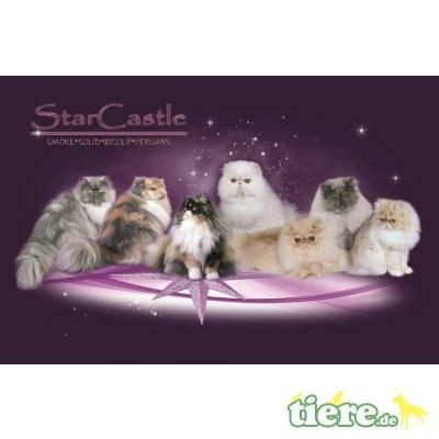 Perser - Katze 1