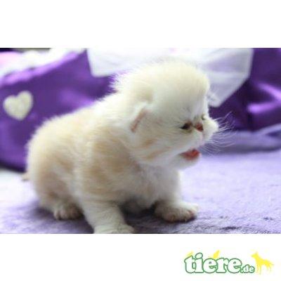 Perser - Katze