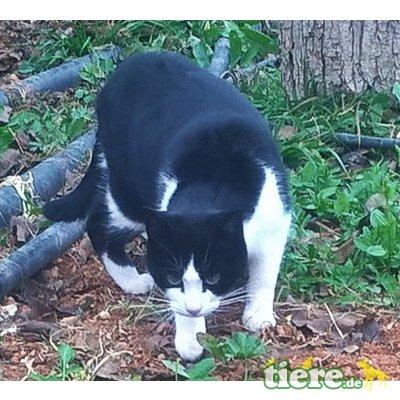 Pilar, Tuxedo Dame sucht liebe Menschen - Katze 1