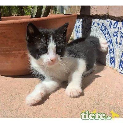 Pilar, Tuxedo Dame sucht liebe Menschen - Katze