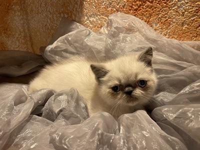 Plush-Paws Lilly, Exotisch Kurzhaar Jungtier - Katze