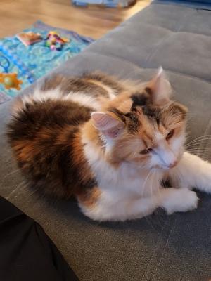 Princess, Glückskatze(dreifärbig) - Katze