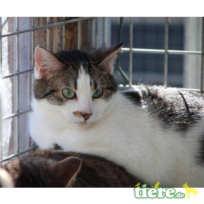 Prya, Europäische Kurzhaarkatze - Katze 1