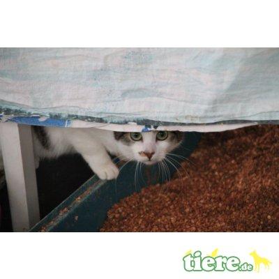 Prya, Europäische Kurzhaarkatze - Katze