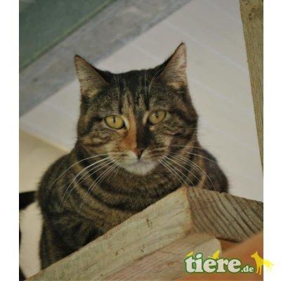 Pushka, Europäische Kurzhaarkatze - Katze