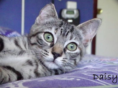 RESERVIERT: zuckersüße Daisy (ALO) - Katze