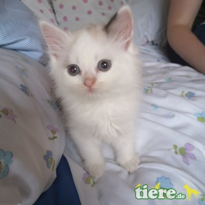 Ragdoll/Perser - Katze