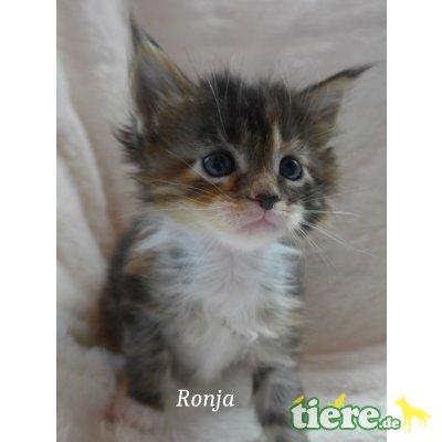 Ronja, Maine Coon - Katze