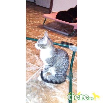Rosa - lieb,freundl,fröhl, hunde/katzenverträgl - Rein-Raus-Hauskatze - Katze