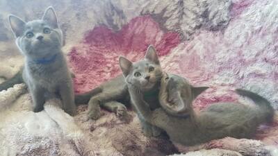 Russisch Blau Jungtier - Katze