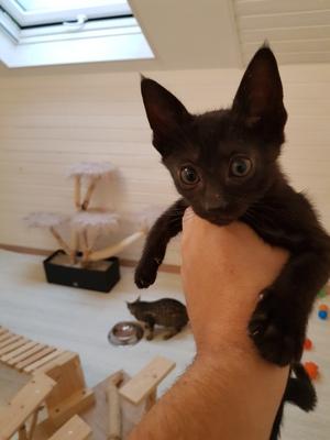 Savannah Jungtier - Katze