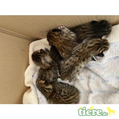 Savannah Kitten, Savannah - Kater