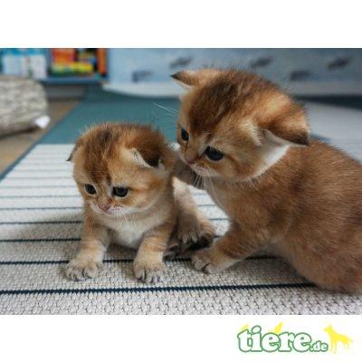 Schottische Faltohrenkatze - Katze