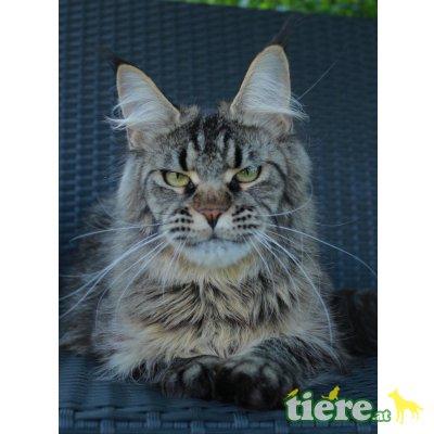 Shiva, Maine Coon - Katze