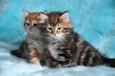 Sibirische Katze Jungtier - Katze