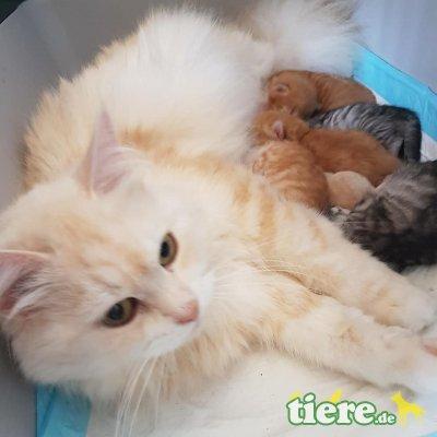 Sibirische Katze - Kater 1